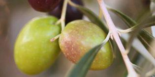 Nutracéuticos a partir de extractos de aceituna para frenar el envejecimiento