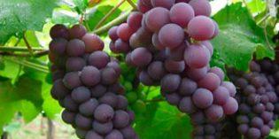 El resveratrol protege contra las alteraciones celulares del Alzheimer