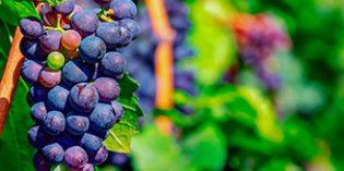 'Food4Neuron' investiga los efectos protectores de la uva frente a enfermedades neurodegenerativas